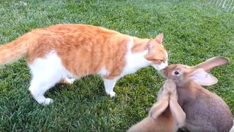 Tierische Freundschaft: Fünf Baby-Hasen freunden sich mit einer Katze an.