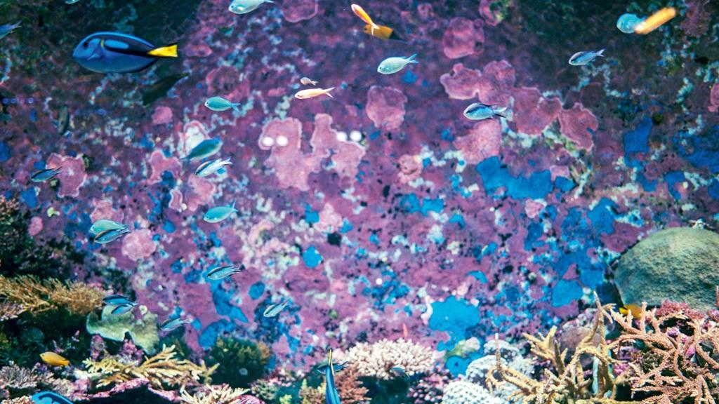 Das Great Barrier Reef droht, aus der Unesco-Weltnaturerbe-Liste zu fallen, weil es durch Umweltsünden beschädigt ist. Weil das dem Tourismus schaden würde, versucht Australien alles, um einen entsprechenden Unesco-Entscheid zu verhindern. Fragwürdige Propaganda-Methoden inbegriffen (Archivbild).