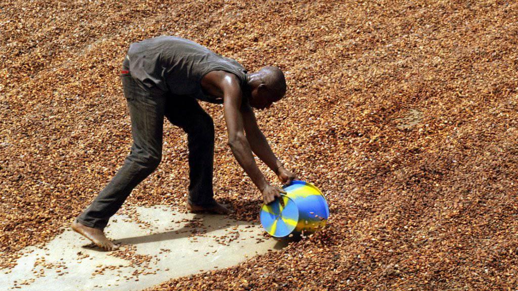 Die Elfenbeinküste ist der grösste Kakao-Exporteur der Welt: Speziell ausgebildete Ranger sollen nun aber sicherstellen, dass Elefanten vor Abholzungen für die Kakaoindustrie geschützt werden. (Symbolbild)