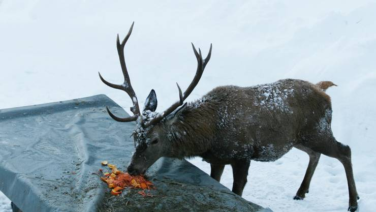 Fütterungen im Winter können fatale Folgen für Wildtiere haben.