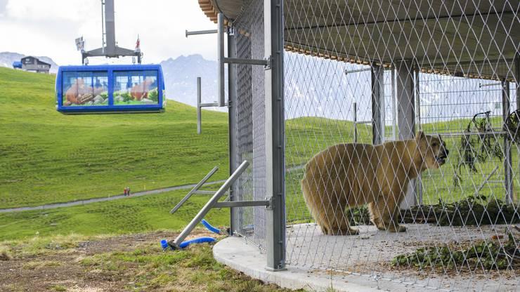 Napa erkundet am Mittwoch das neue Heim im Winterquartier des Bärenlands.