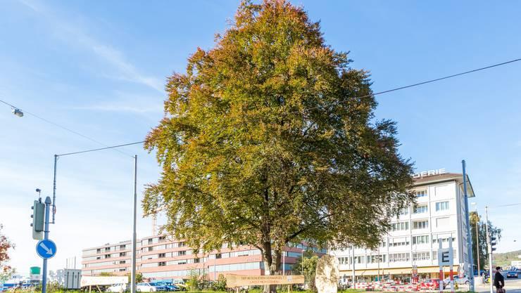 Über 100 Jahre alt ist die Schlieremer Blutbuche. Wegen dem Bau der Limmattalbahn muss der stolze Baum jedoch weichen.