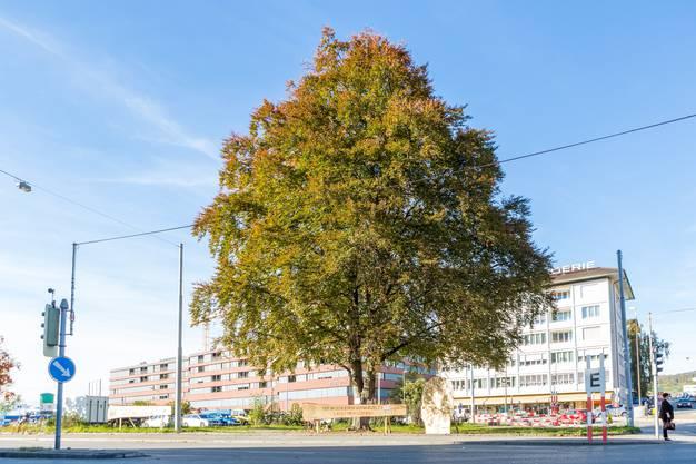 Wegen dem Bau der Limmattalbahn muss der stolze Baum jedoch weichen.