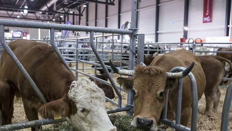 Hornlose Kuh oder Kuh mit Hörnern? Die Hornkuh-Initiative fordert finanzielle Anreize für Bauern, die ihren Kühen die Hörner lassen. Bereits sind fast drei Viertel aller Milchkühe hornlos. (Archivbild)