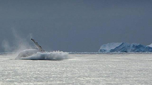 Wal im Eismeer (Archivbild)