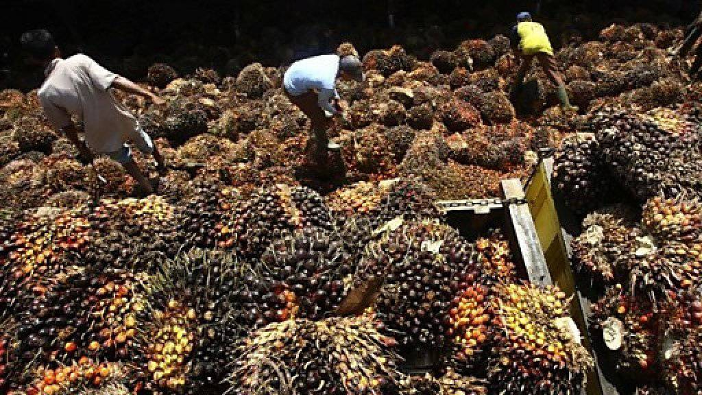 Der Bundesrat soll Palmöl nicht aus den Verhandlungen für ein Freihandelsabkommen mit Malaysia ausklammern. Das verlangt der Ständerat. Stattdessen schlägt er vor, keine Konzessionen in ökologischen und sozialen Fragen zu machen. (Themenbild)