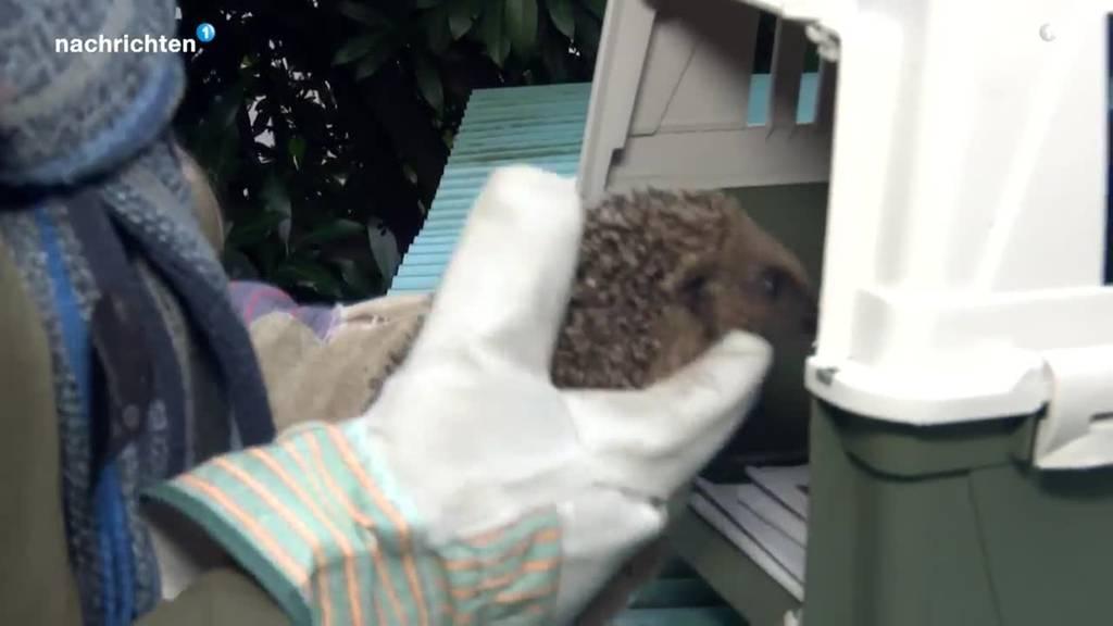 Dieser Igel macht sich bereit für den Winterschlaf