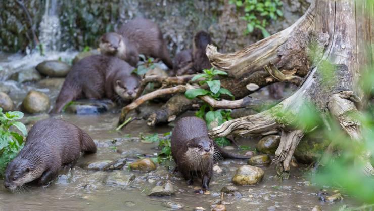 Elf Zwergotter sorgen derzeit für beste Unterhaltung im Zoo Basel.