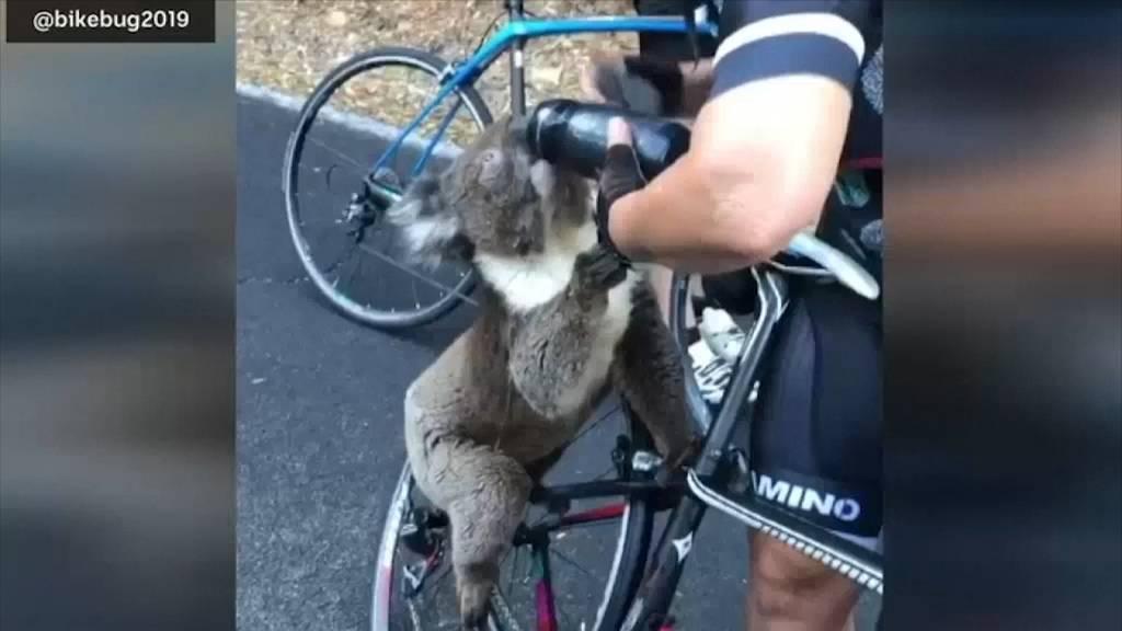 Velofahrerin hilft durstigem Koala