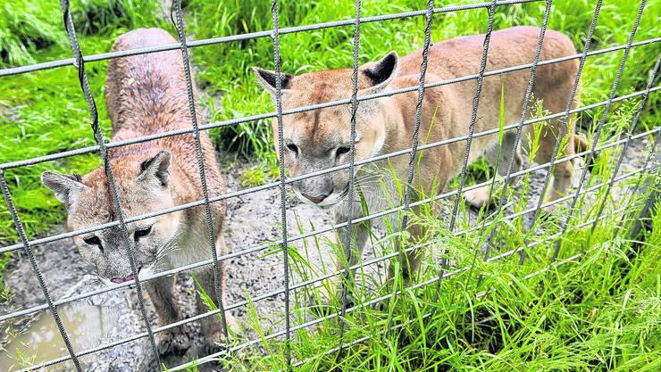 warten Die Gemeinderatskommission bespricht, ob den Pumas und Co. Grenchens Tore offen stehen sollen. (Oliver Menge)