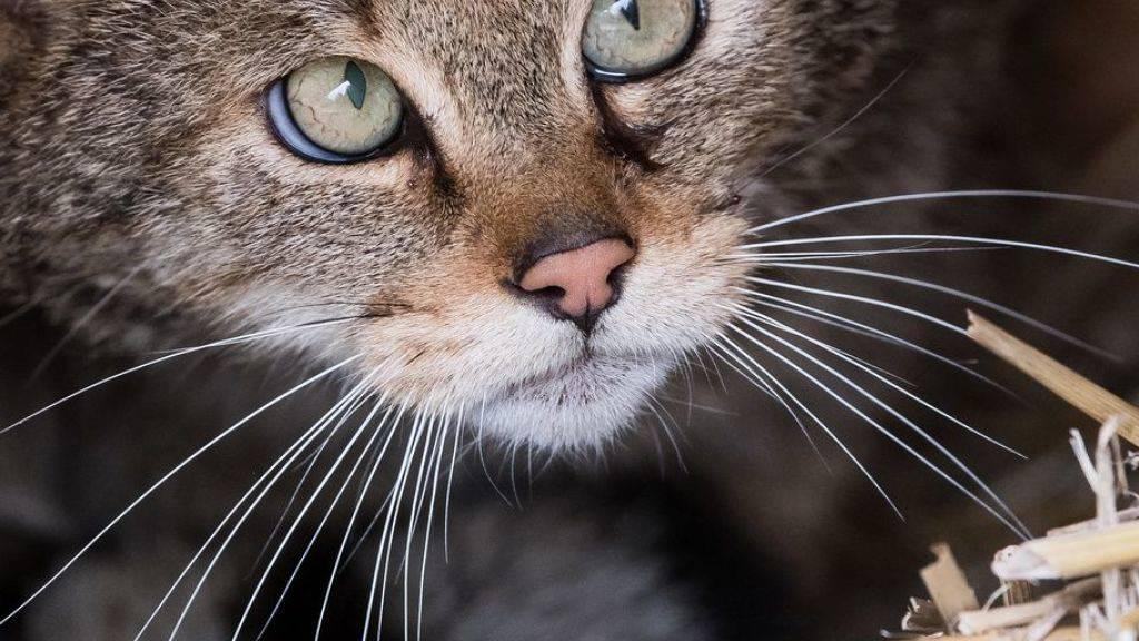 Gar nicht süss - Katzen in Australien gefährden heimische Arten