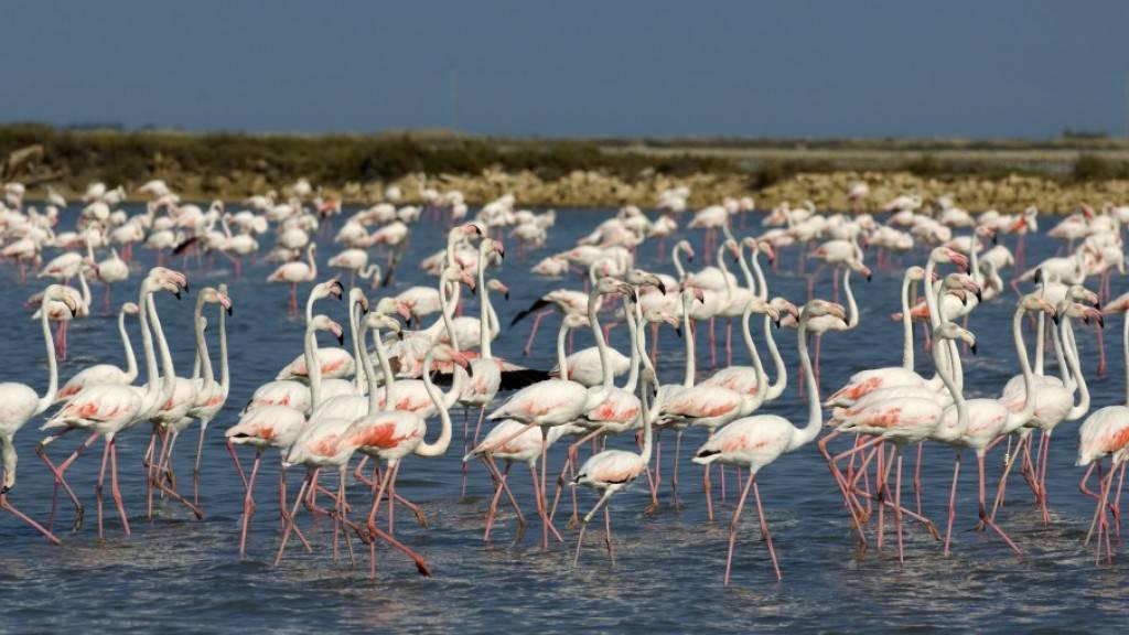 12'000 Flamingos sind in der Camargue geschlüpft. Ihr rosa Gefieder erhalten sie erst als Erwachsene. (Pressebild)