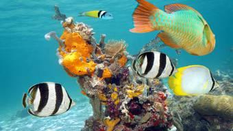 Fische im Korallenriff  werden womöglich durch Sonnencremes geschädigt.
