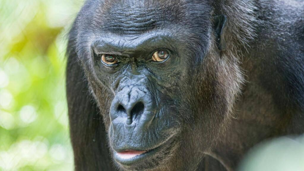 Gorilladame Quarta im Zoo Basel 52-jährig gestorben