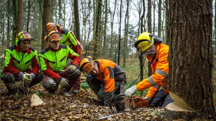 Wohin fällt er? Angehende Hobby-Holzer wie auch Fortgeschrittene (im Bild) werden im Wald bei Suhr in die Kunst des Baumfällens eingeweiht.