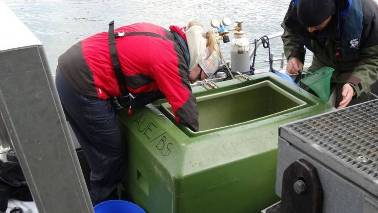 Junglachse werden aus dem Transportbehälter auf dem Schiff geholt