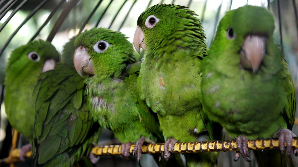 Der Ständerat will illegalen Tier- und Pflanzenhandel schärfer sanktionieren. Erst recht, wenn geschützte Arten betroffen sind. (Symbolbild)