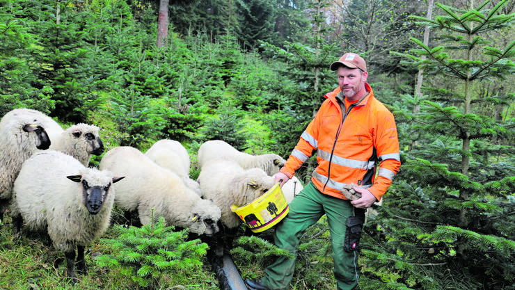 Ersparen den Einsatz von Herbiziden und Mäharbeiten: die Shropshire-Schafe von Förster Rolf Treier.
