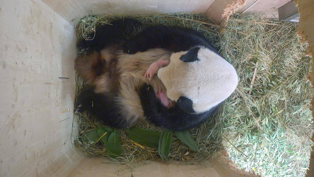 Wiener Panda (© Keystone)