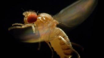 Angst vor Schäden in der Landwirtschaft: In Neuseeland wurde eine eingeschleppte Fruchtfliege aus Australien entdeckt.