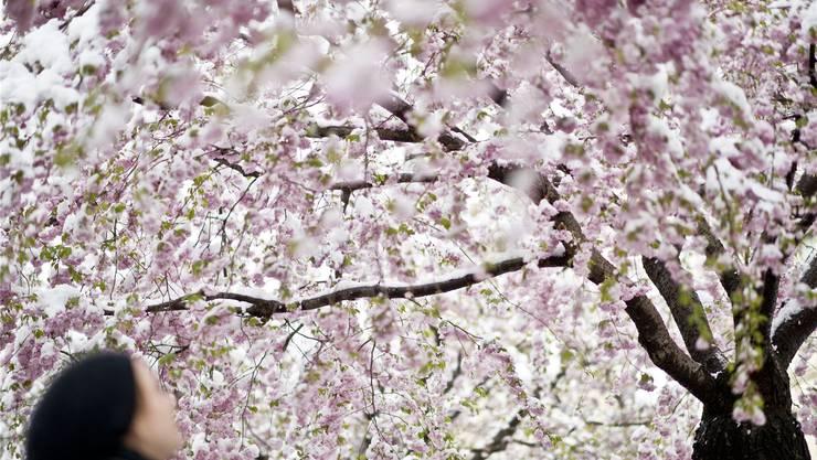 Beeindruckende Blütenpracht der Kirschbäume