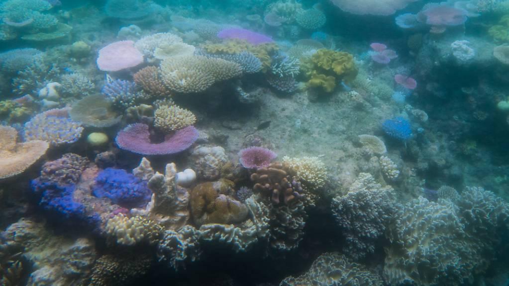 Ausbleichende Korallen im australischen Great Barrier Reef: Hitzewellen in den Ozeanen können Korallenriffe ausbleichen und absterben lassen.