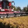 Thumb for 'Hier wird Reis aus Brugg geerntet'