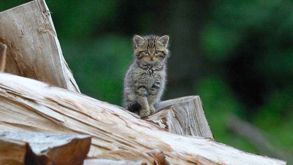 Ein junges Exemplar der Europäischen Wildkatze (Felis silvestris) auf Entdeckungstour.