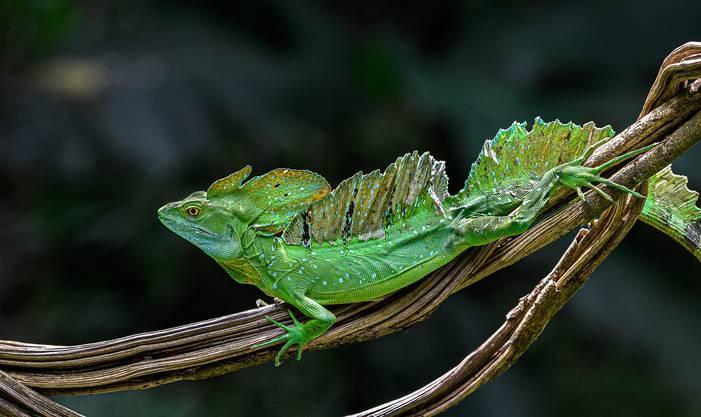 Leguane leben in den Regenwäldern und Feuchtgebieten Mittelamerikas und ernähren sich hauptsächlich von Insekten, Schnecken, kleineren Echsen, Fröschen und Fischen, aber auch von Blüten und Früchten.