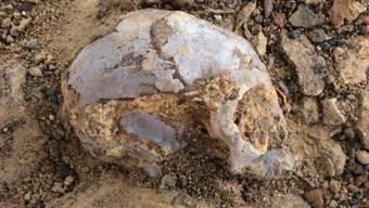 Der Schädel des 13 Millionen Jahre alten Vorfahren von Menschenaffen und Menschen wurde bei Ausgrabungen in Kenia entdeckt.