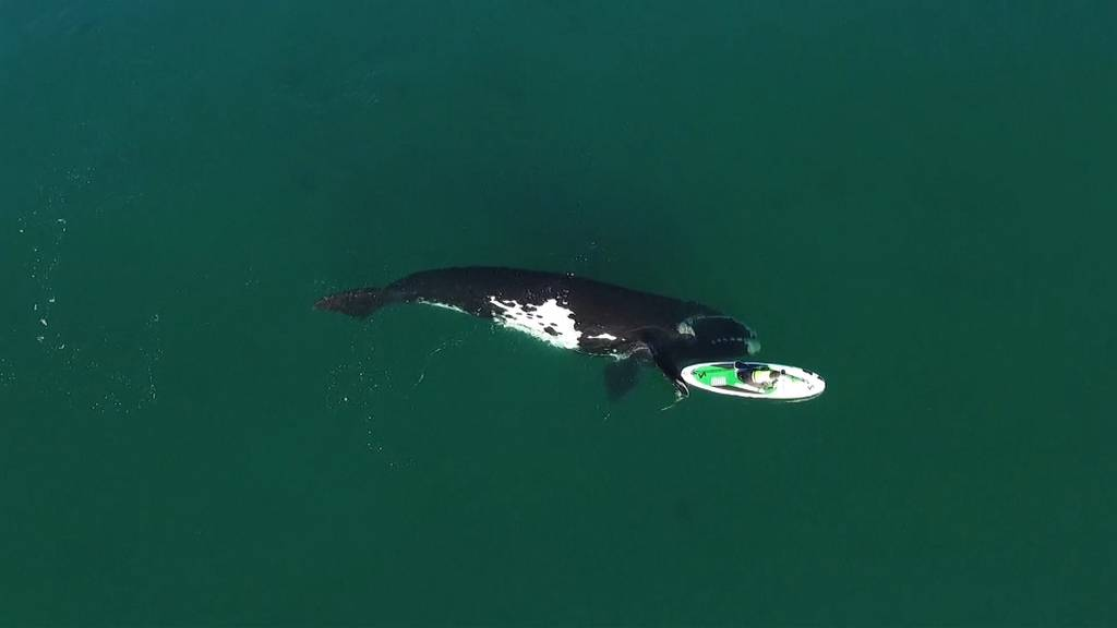 Aussergewöhnliche Begegnung: Wal stupst Stand-up-Paddlerin
