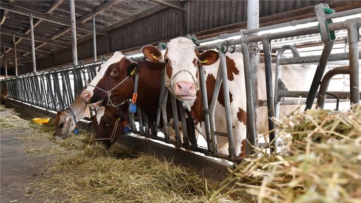 Rinder setzen Methan frei. Dieses richtet in der Atmosphäre zwanzig Mal mehr Schaden an als CO2. (Symbolbild)
