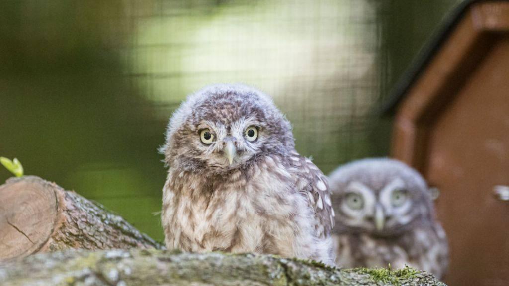 Im Zoo Basel sind zwei junge Steinkäuze geschlüpft.