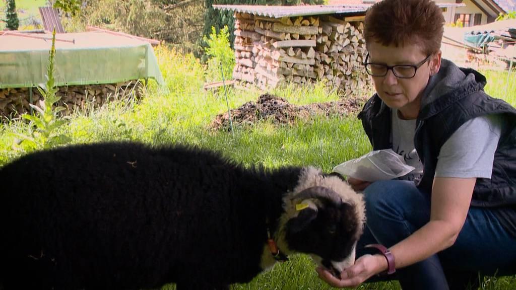 Hund reisst 6 Schafe in Elgg: Polizei fahndet nach Halter