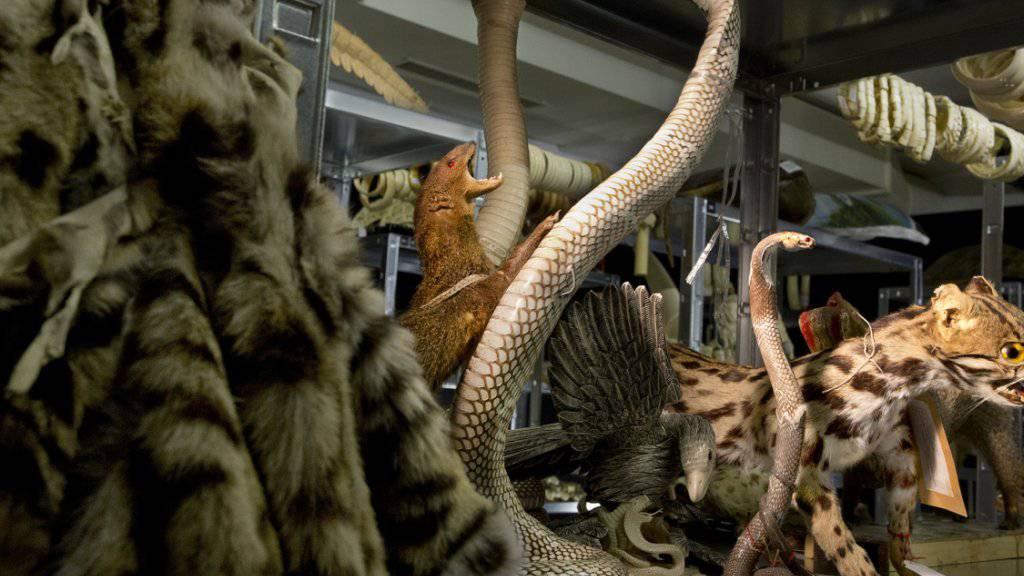 In der neuen Ausstellung des Naturhistorischen Museums Bern erhalten die Besucher Einblick in die Asservatenkammer des Bundes mit geschmuggelten Tierprodukten.