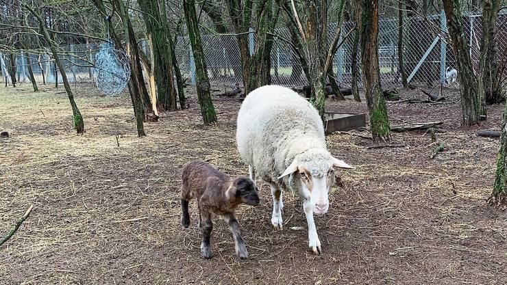 Noch ein wenig wackelig auf den Beinen, erkundet Babyschaf Henry an der Seite seiner Mutter Rosa die Welt.