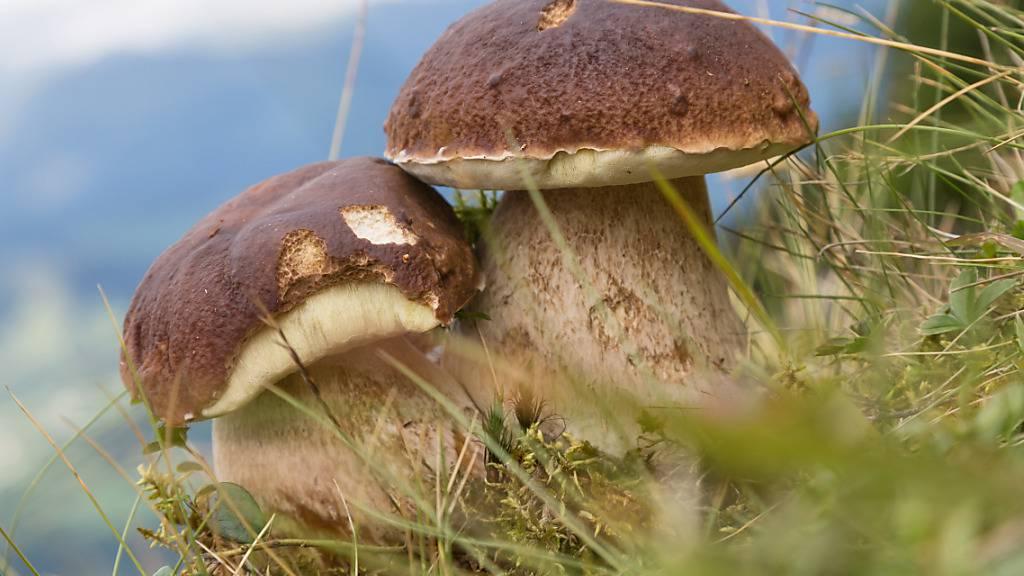 Das nasse Wetter der vergangenen Wochen freut die Pilzfreunde: In zahlreichen Wäldern sind viele Pilze aus dem Boden geschossen. (Symbolbild)