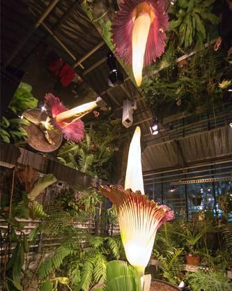 Hier ist sie in voller Pracht im November 2012 im Botanischen Garten der Uni Basel.