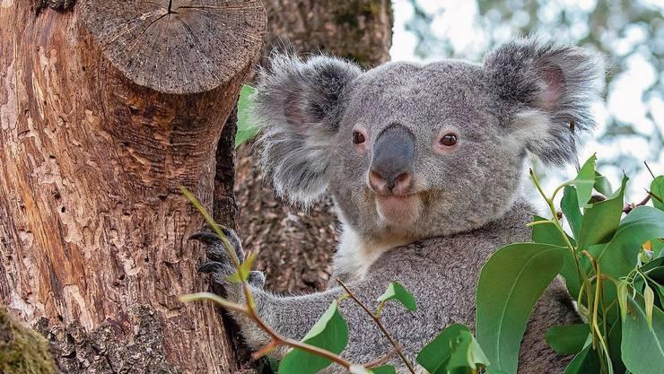 Koala-Männchen Milo kam Anfang Februar 2018 aus dem Australian Reptile Park nach Zürich.(Archivbild)