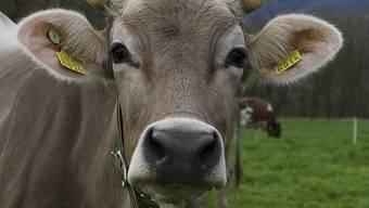 Die Diebe klauten die Glocken vom Hals der Kühe.