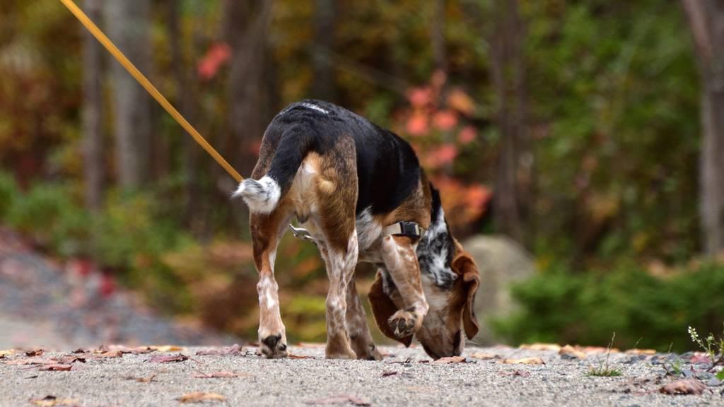 Schon jetzt müssen Hunde auf verkehrsreichen Strassen an der Leine geführt werden. (Symbolbild)