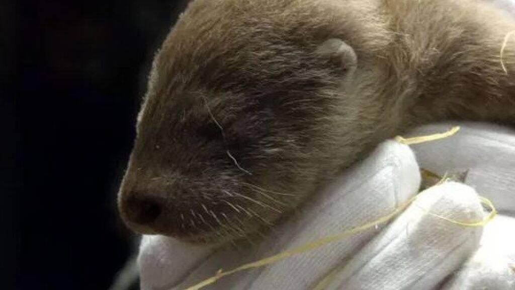 Erstes Fischotterbaby im Tierpark Goldau gestorben