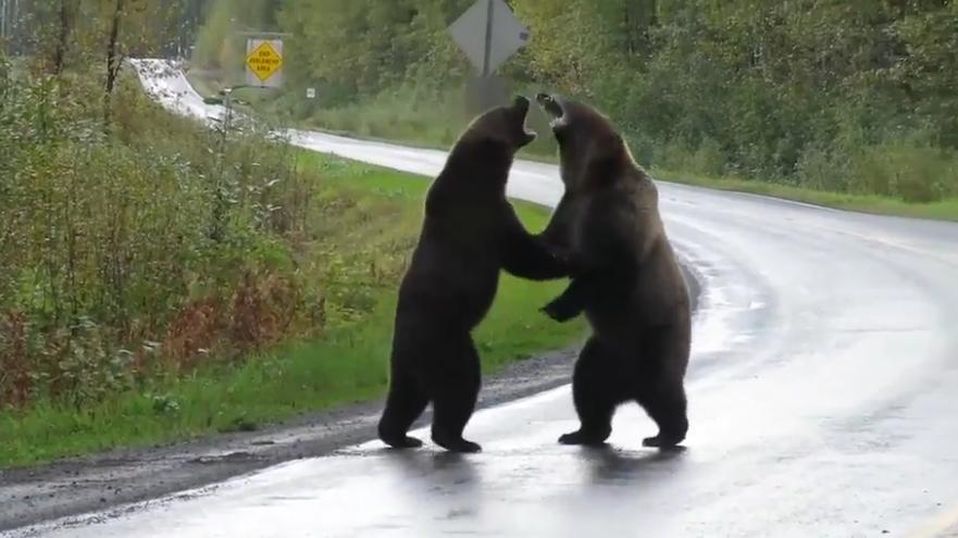 Bärenkampf auf Autobahn in Kanada