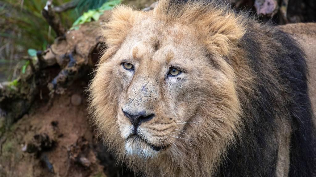 Löwe Radja lebt nicht mehr