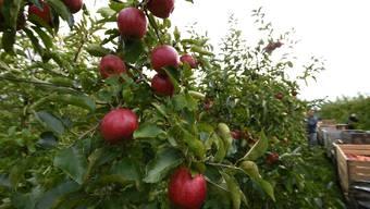 Dieses Jahr haben Limmattaler Bauern massive Ernteausfälle bei Äpfeln zu verzeichnen. In der ganzen Schweiz sieht es nicht gut aus