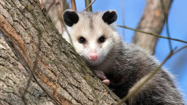 Einige finden sie zuckersüss, andere eher weniger. Trotzdem ist das Opossum als Haustier sehr geeignet. Das Gewicht variiert zwischen 100g bis 5gk.