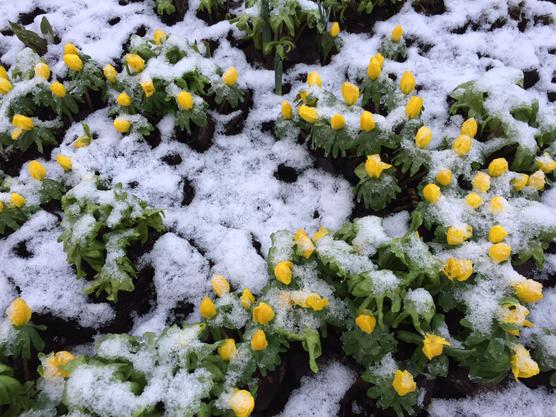 Frühling ist nicht mehr weit ......wenn auch etwas eingeschneit