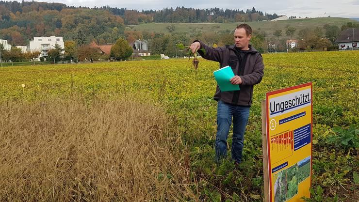 Bauer Nyffenegger auf seinem Feld: Im Vordergrund die ungepflegte «Nullparzelle», dahinter die gelblichen Zucckerrübenpflanzen.