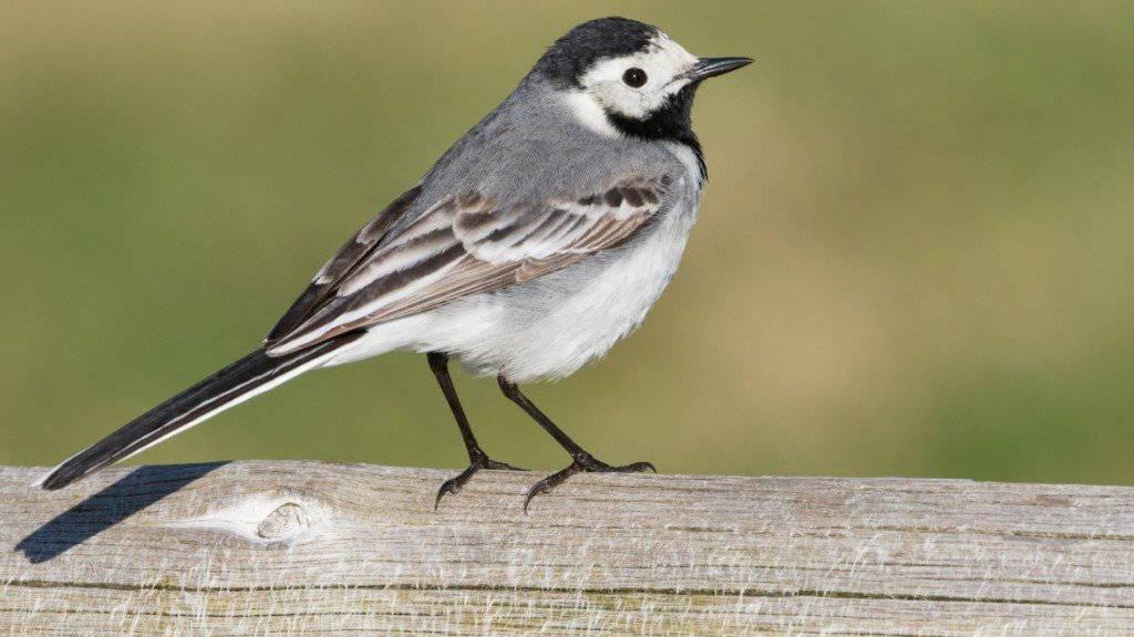 Die Bachstelze gehört zu den Verliererinnen der Schweizer Vogelwelt.