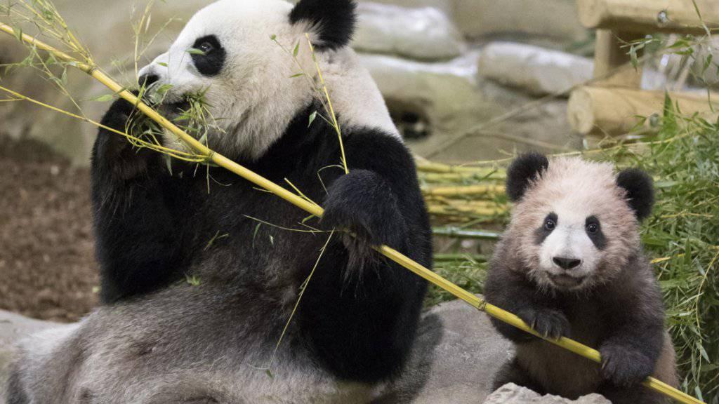 Panda in Frankreich zeigt sich erstmals öffentlich